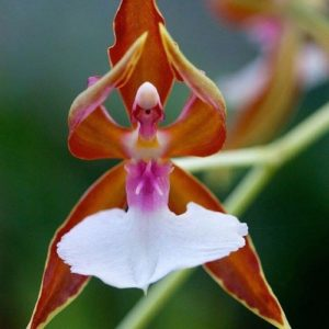 ballerinaorchid