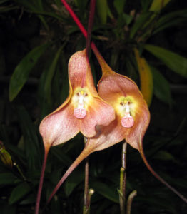 monkeyfacedorchid